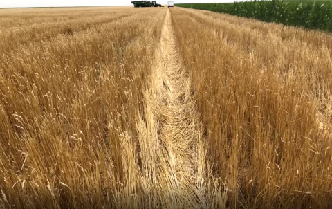 Wheat field with significant standing residue following harvest