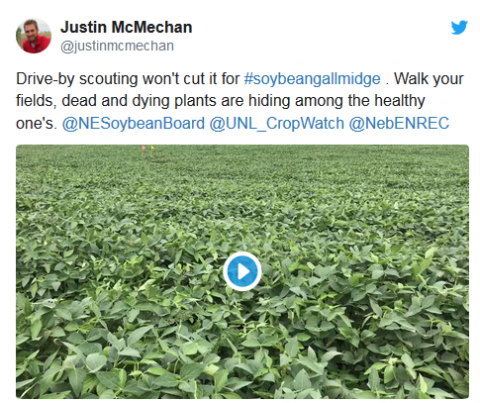 Tweet from Justin McMechan on scouting for soybean gall midge