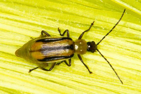 Corn rootworm beetle