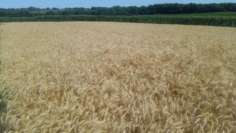 A mature wheat field in eastern Nebraska.