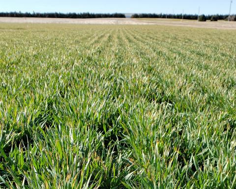 Field of Panhandle wheat