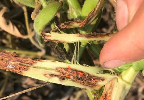 soybean gall midge larva