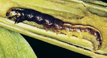 common stalk borer larva