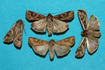 army cutworm miller moths