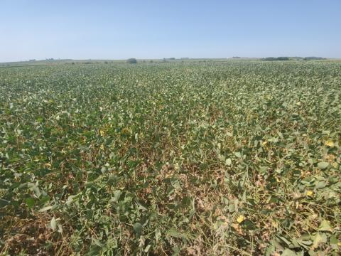 Drought stressed soybeans