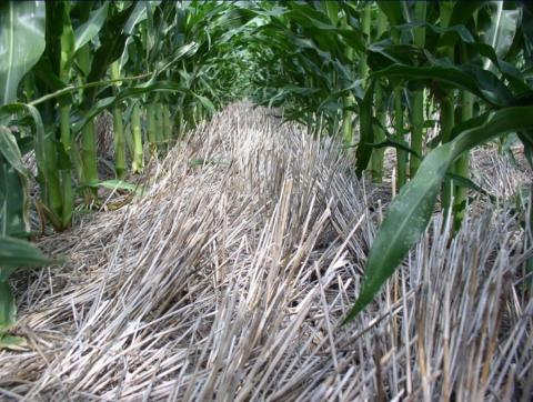 corn planted folllowing wheat
