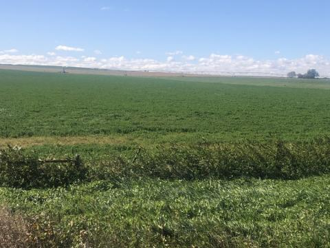 fall alfalfa field
