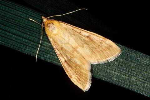 ECB adult female