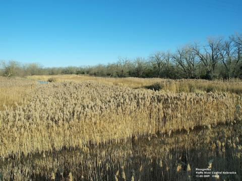 Phragmites growing along the Platte River in Nebraska