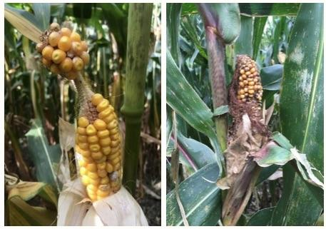 barbel ear and short husk deformations in corn