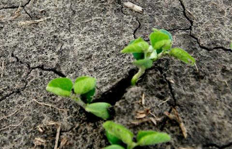 soybeans germinating in a field