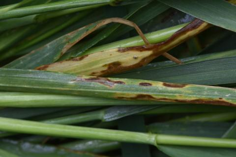 Septoria tritici blotch in wheat