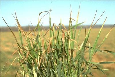 wheat damaged by freeze