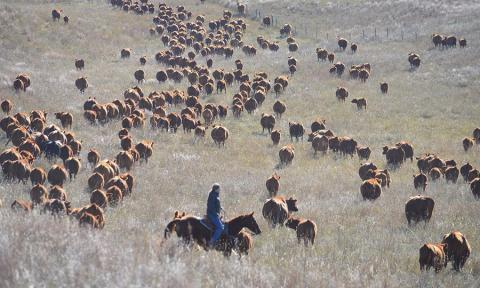 Rancher with cattle