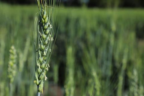 Wheat stem in field