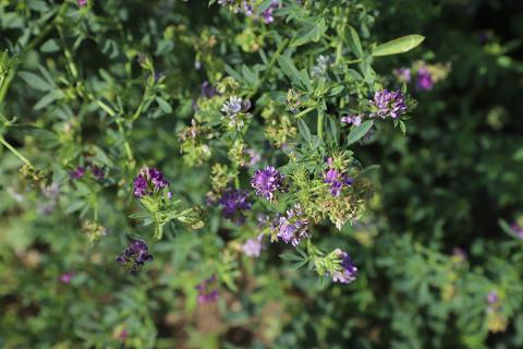 Alfalfa plant closeup