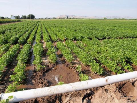 Furrow irrigation in a field