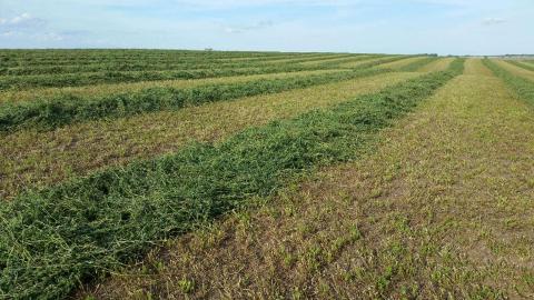 Alfalfa harvest