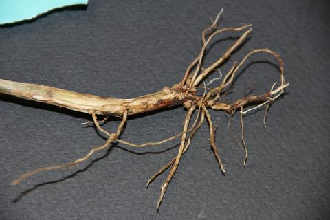 Rhizoctonia root rot of soybeans
