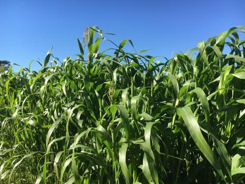 sorghum-sudangrass field