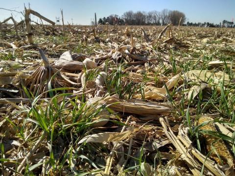 Rye cover crop in corn