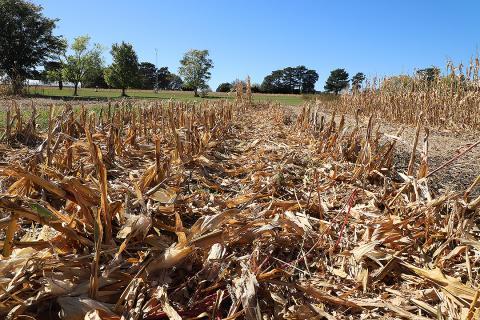 Corn residue
