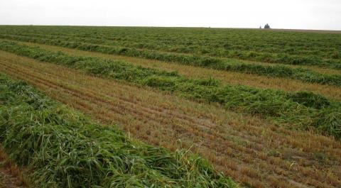 Windrow in field