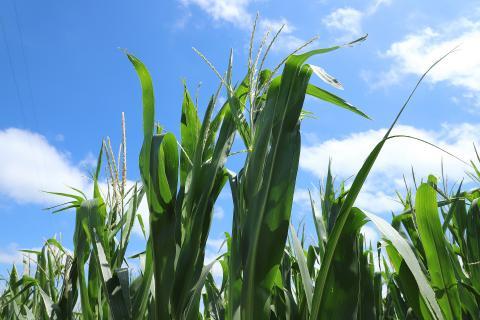 Tasseling corn
