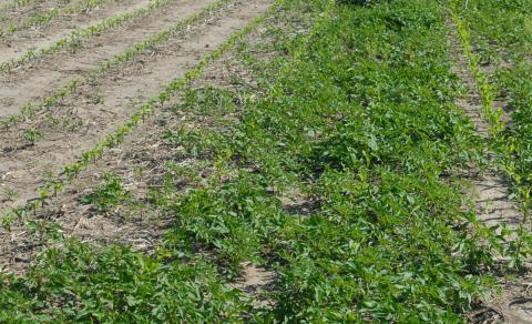Glyphosate-resistant ragweed in corn