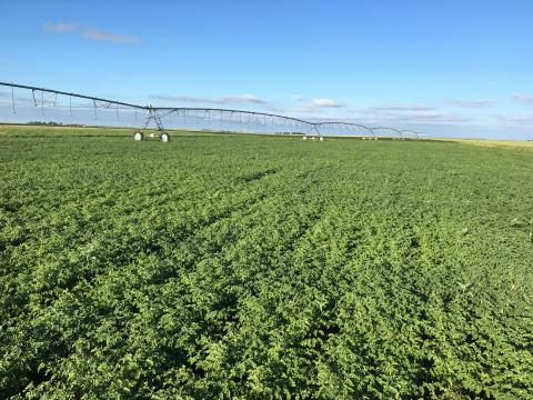 Irrigated chickpea field, part of study at Grant.