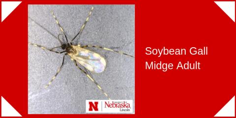 Soybean gall midge adult