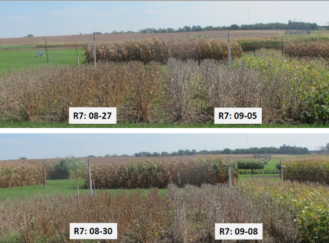 Photo of field comparison of soybean planting dates and maturities at different stages.