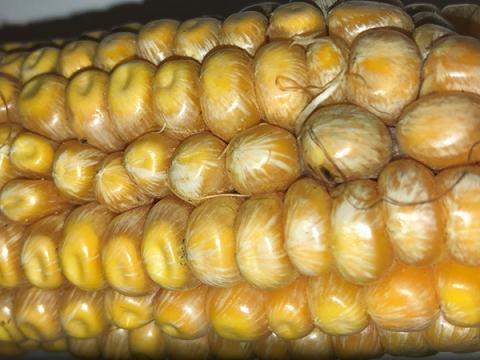 Starburst pattern on Fusarium-infected corn kernels