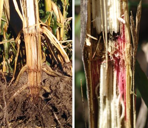Gibberella and fusarium stalk rots in corn