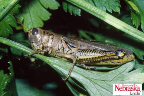 Adult differential grasshopper