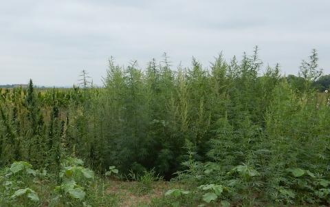 Industrial hemp research plot