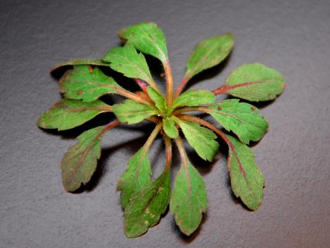 Marestail