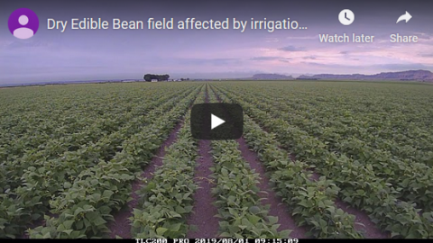 A screen capture from a time-lapse video of dry edible beans without irigation