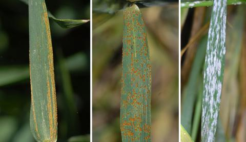 (L-R) Wheat leaves with stripe rust, leaf rust, and powdery mildew