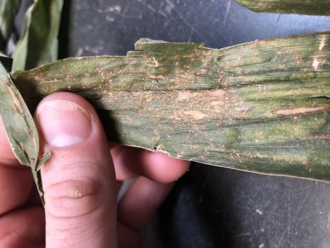 southern rust and grey leaf spot on corn