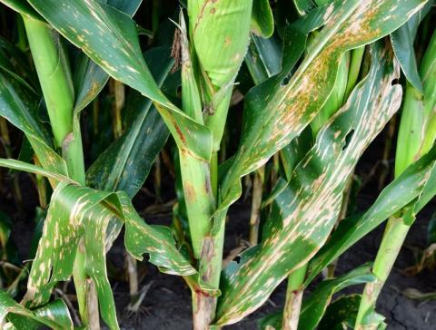 diseased corn stalk