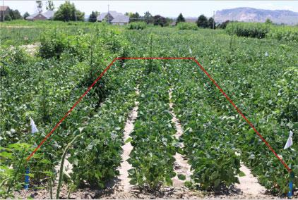 palmer amaranth research plot