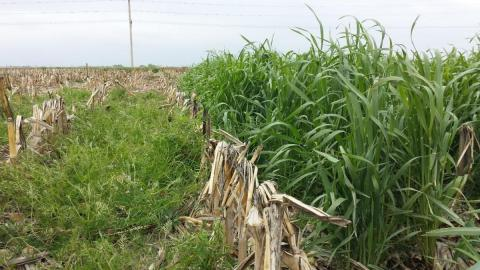 cover crops in a field