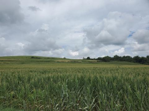 corn field in Burt county