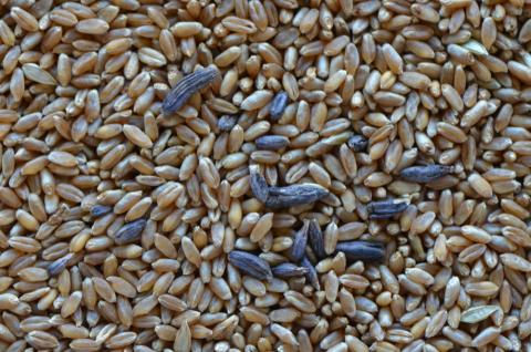 wheat grain contaminated with ergots