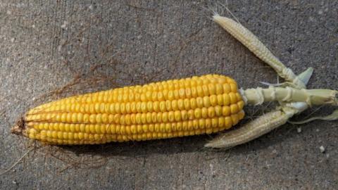 multiple corn ears on single node