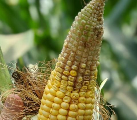 corn ear showing tip back