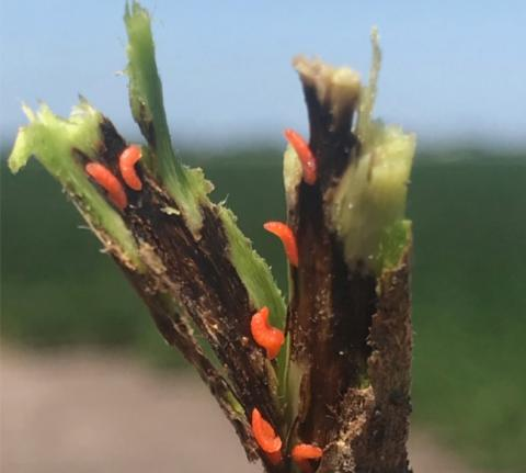 Soybean gall midge larvae on soybean plant