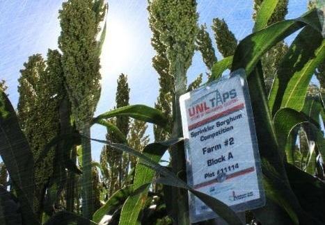 Sorghum plant in field