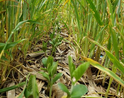 Cover crop plantings